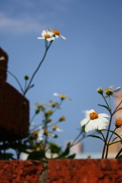 圍牆上的小白花之一