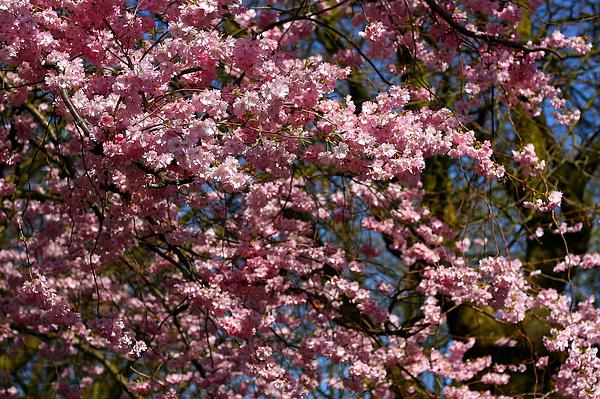 盛開的櫻花-1