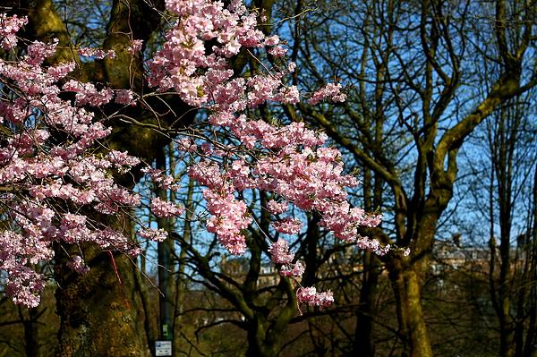 盛開的櫻花-2