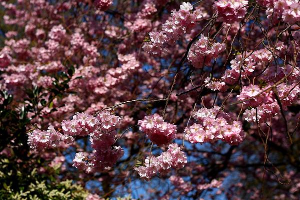 盛開的櫻花-3