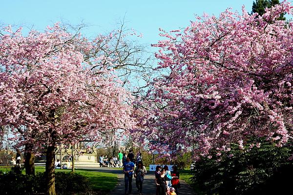 Kelvingrove Park裡的櫻花