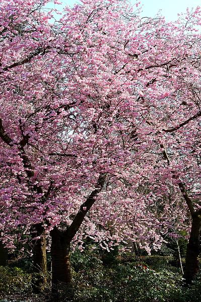 Kelvingrove Park裡的櫻花-2