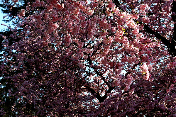 Kelvingrove Park裡的櫻花-4