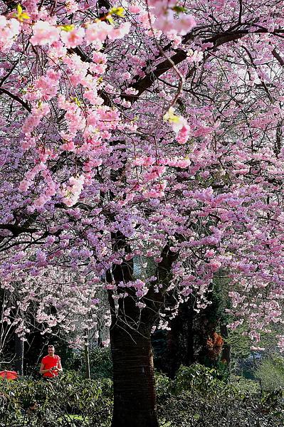 Kelvingrove Park裡的櫻花-5