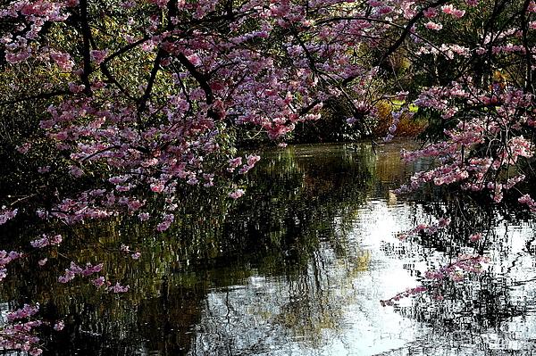 池子邊的櫻花