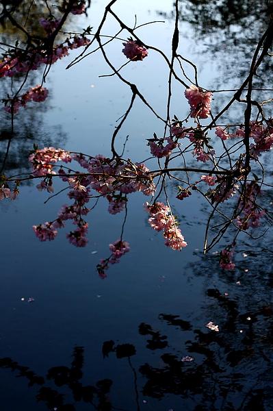 池子上的櫻花