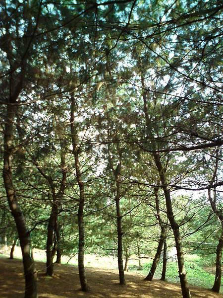 台中東勢松樹林