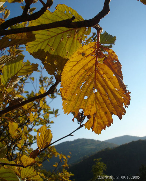 奧文尼Leaf
