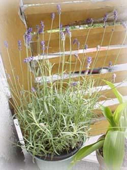 一起種的薰衣草