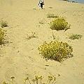 法國西南的Landes海灘,小黃花在陽光下見證我們的足跡