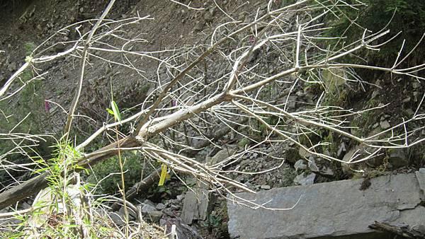 雪山西陵線 147 (2).JPG