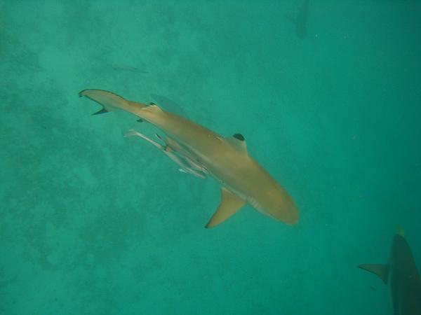 帛琉有很多鯊魚