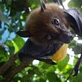大頭水果蝙輻