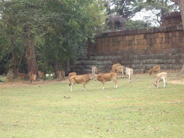 092一堆比馬瘦的黃牛(東梅蓬寺外面).JPG