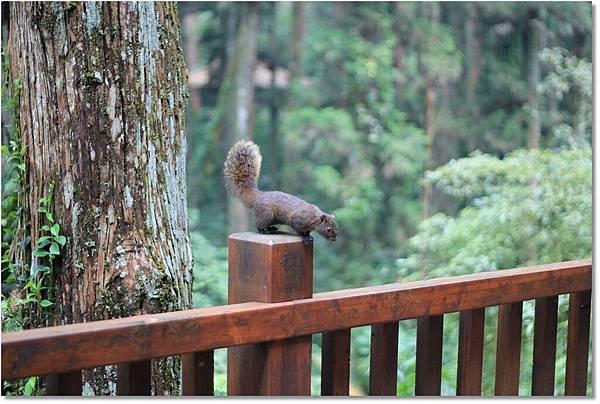 不怕生的松鼠,可能被餵慣了