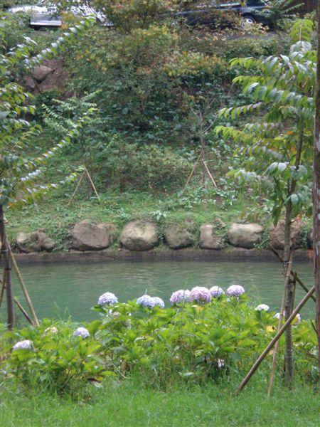 溪邊的繡球花