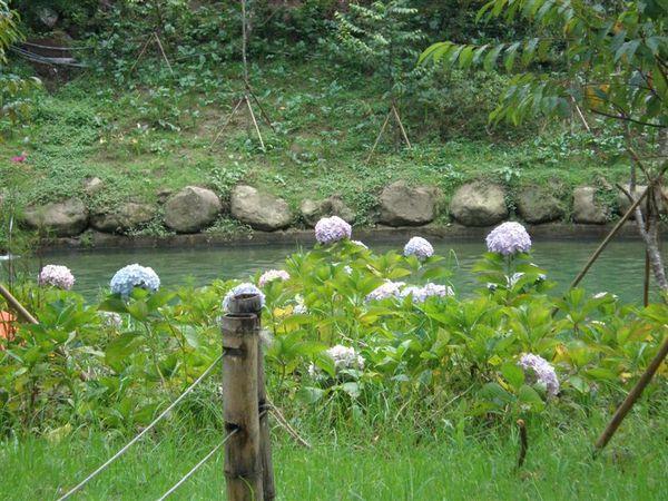 高高低低的繡球花