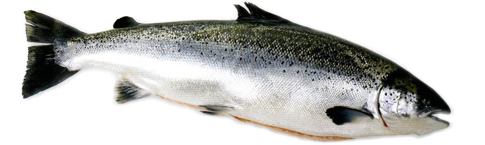澳洲鮭魚.jpg