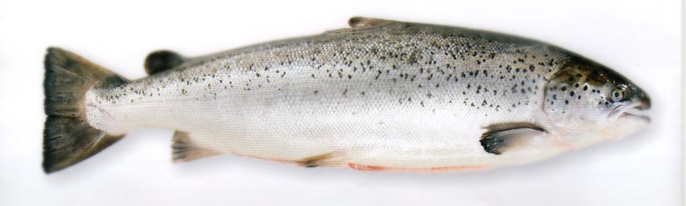 加拿大鮭魚.jpg