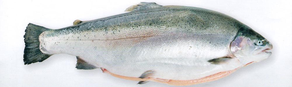 挪威鱒鮭.jpg