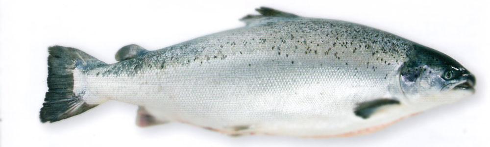 挪威鮭魚.jpg