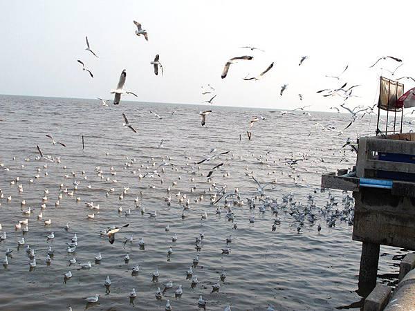 大門進去後往裡面走一小段路 就可以看到這樣成群的海鷗