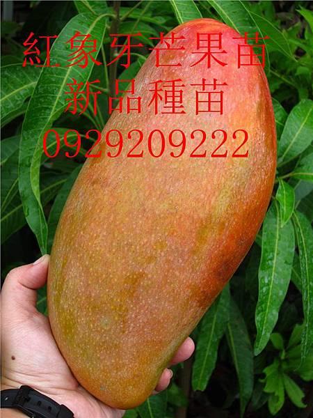 紅象牙芒果[1]_副本