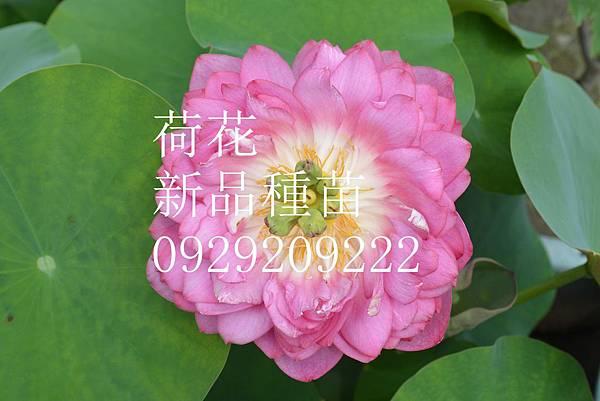 DSC_7065 - 複製 (2)_副本