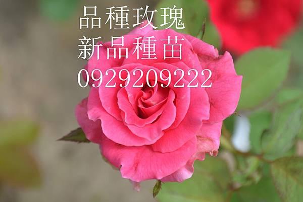 DSC_7075 - 複製_副本