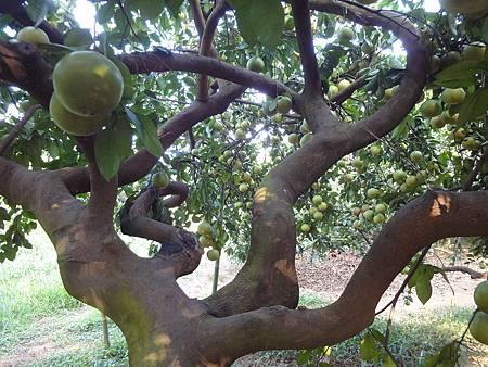 超年齡的葡萄柚樹