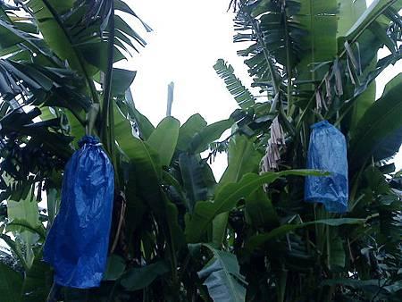 傳統型與雞蛋蕉樹