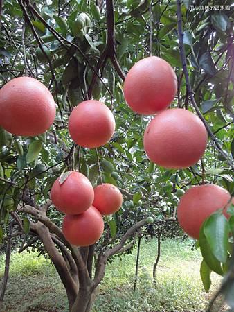 紅寶石葡萄柚樹