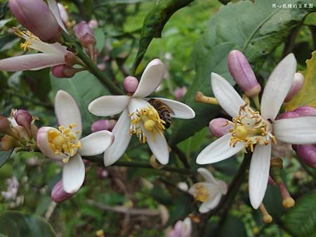 香水檸檬花