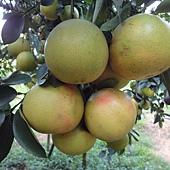 正統葡萄柚