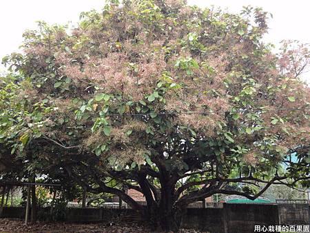 老欉蘋婆樹