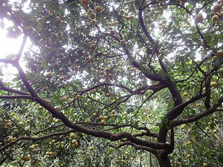 老欉葡萄柚樹