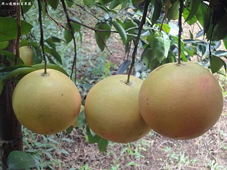 葡萄柚豐收時
