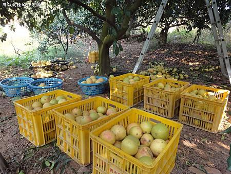 葡萄柚大豐收囉