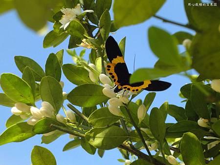金桔與蝴蝶