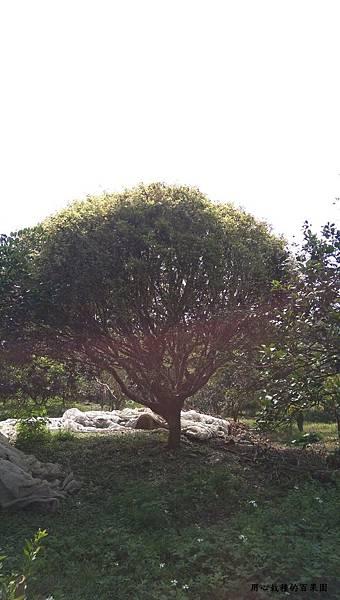 40年老欉樹葡萄樹