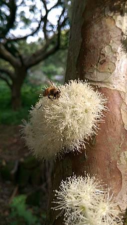 樹葡萄花遇上小蜜蜂