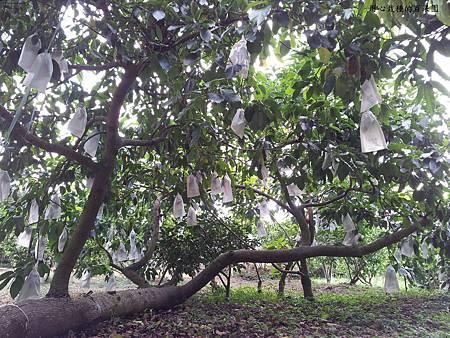 老欉酪梨樹