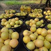 原生種葡萄柚