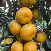 珍珠柑(砂糖橘)