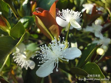 巴西櫻桃花