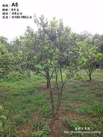 巴西櫻桃樹
