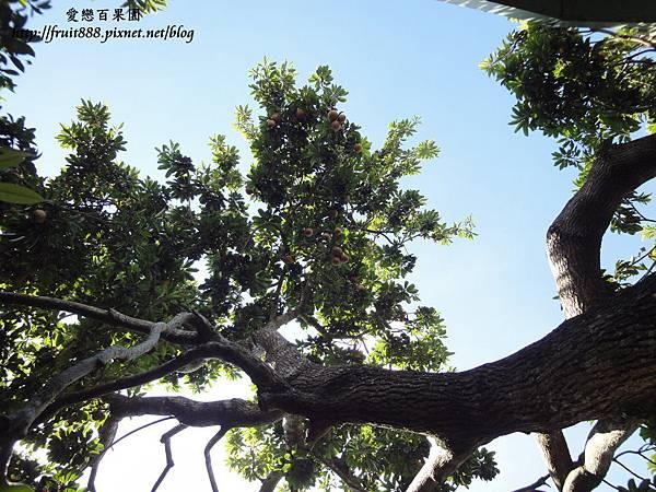 老欉女人果樹