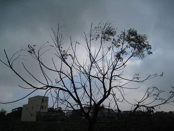 枯藤,老樹,沒有鴉