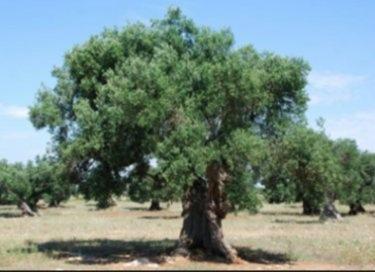 橄欖樹-001.jpg