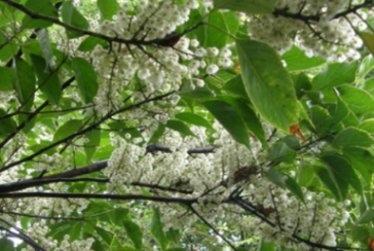 橄欖樹-002.jpg